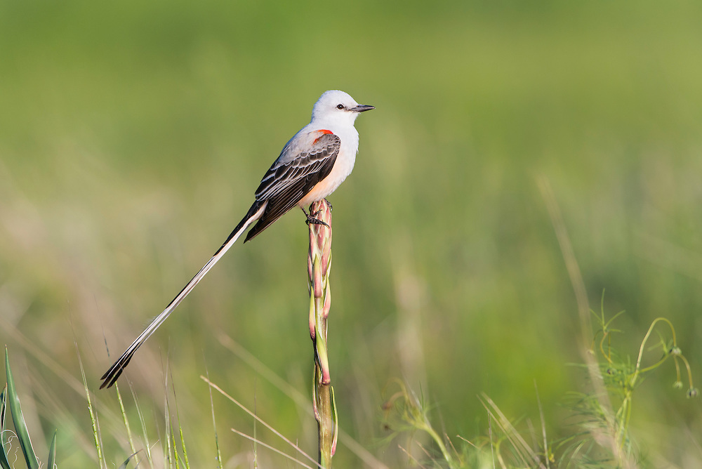 A scissor-tailed flycatcher (Tyrannus forficatus) perched on a yucca, White Rock Lake, Dallas, Texas