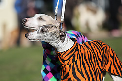 © Licensed to London News Pictures. 09/03/2017. Birmingham, UK. Two whippets wearing colourful jackets arrives at the 126th annual Crufts dog show at the NEC in Birmingham, West Midlands. The show is organised by the Kennel Club and is the biggest of it's kind in the world.  Photo credit : Ian Hinchliffe/LNP