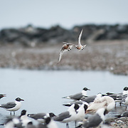 Red Knot in Trouble
