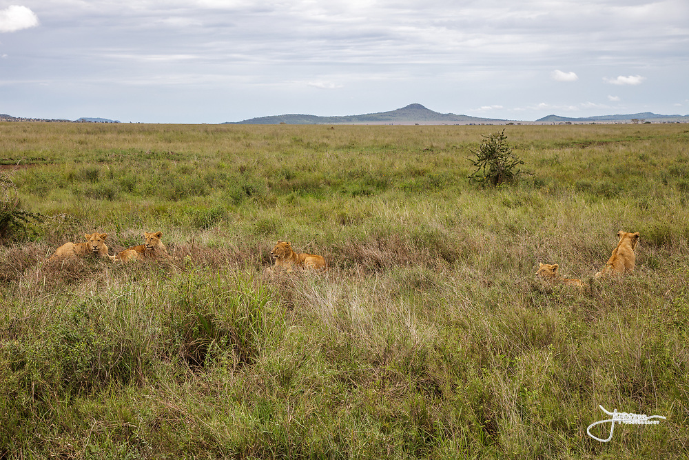 Yound Lions in Serengeti