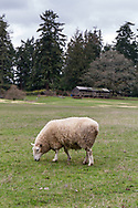 A sheep grazing in a field at Ruckle Farm.  Photographed in Ruckle Provincial Park on Salt Spring Island, British Columbia, Canada.