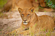 A female lion looks casually into camera as she rests on the ground, an out of focus lion in the background