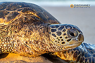 Hawaiian Green Sea Turtle on Poipu Beach in Kauai, Hawaii, USA