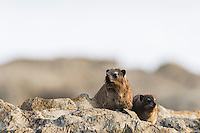 Rock Hyrax and youngster sunning along the coastline at dusk, Garden Route National Park, Eastern Cape, South Africa,
