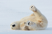 A polar bear (Ursus maritimus) rolls in the snow grooming his fur to keep it clean.