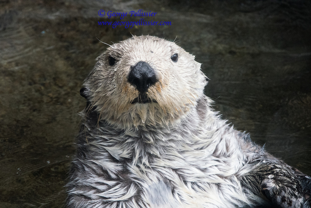 A Sea Otter near Seattle, Washington.