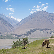 Donkey overlooking Pyanj (Amu Darya) River separating Tajikistan and Afghanistan