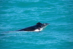 A humpback whale calf swimming near Hall Point on the Kimberley coast.