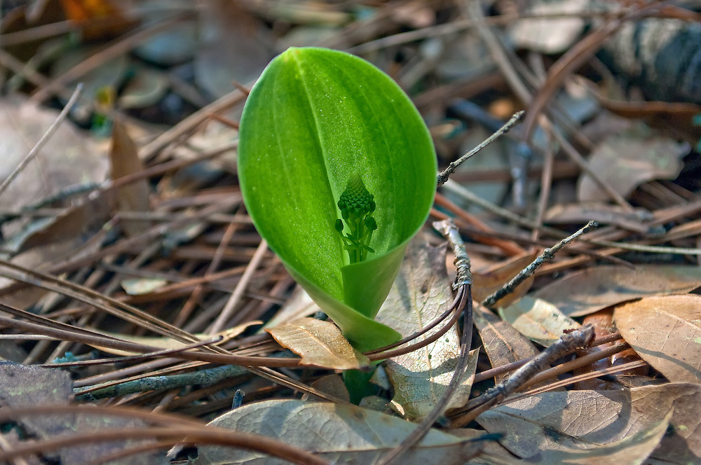 One of dozens of emerging green adder's-mouth orchids in a  healthy localized colony in Central Florida.