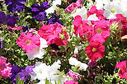Pink, Red, purple and white Petunias
