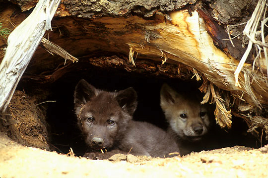 Gray Wolf, (Canis lupus) Young pups at entrance of den. Spring.Captive Animal.