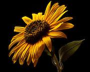sunflower, close up, flower, floral, summer, garden, gardener, yellow on black, fine art print, botanic,helianthus