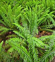 Western Sword Fern, Kitsap Peninsula, Puget Sound, Washington state, USA , Kitsap Peninsula, Puget Sound, Washington state, USA