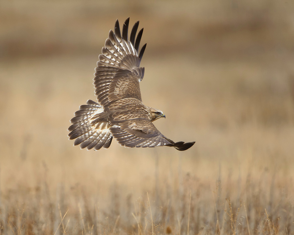 A rough-legged hawk in flight, Western Montana
