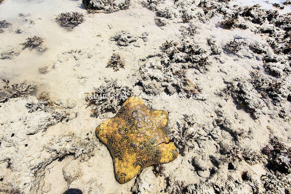 A yellow Cushion star (Culchita schmideliana) in a sandy reef at the northern end of Augustus Island in Camden Sound.