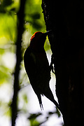 A red-breasted sapsucker (Sphyrapicus ruber) rendered in near silhouette drills holes in an alder tree in Snohomish County, Washington. The red-breasted sapsucker is known for drilling neat rows of shallow holes into trees to collect sap.