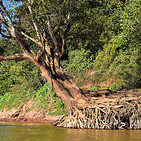 Tree Roots Exposed on Mekong Riverbank in Luang Prabang, Laos<br />