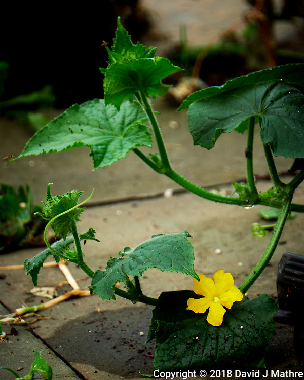 Yellow Cucumber Flower. Image taken with a Fuji X-T2 camera and 100-400 mm OIS telephoto zoom lens