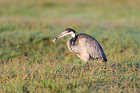Black-Headed Heron hunting for and feeding on a small shrew, Addo Elephant National Park, Eastern Cape, South Africa