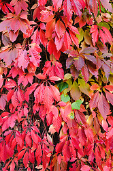 Wilde wingerd, Parthenocissus spec