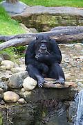 Chimpanzee at Taronga Zoo, Sydney.