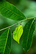 Leaf Katydid (Cycloptera speculata)<br /> Yasuni National Park, Amazon Rainforest<br /> ECUADOR. South America<br /> HABITAT & RANGE:Leaf Katydid (Cycloptera arcuata)<br /> Yasuni National Park, Amazon Rainforest<br /> ECUADOR. South America