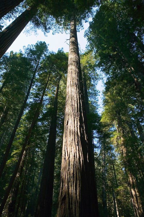 Redwood tree in Redwoods National Park Northern California Coast USA.