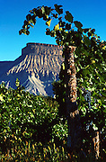 Wine Grapes on the Vine and Mt. Garfield in Palisade, Colorado.