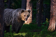 An Eurasian Brown Bear stands in the brush in a forest in Finland.