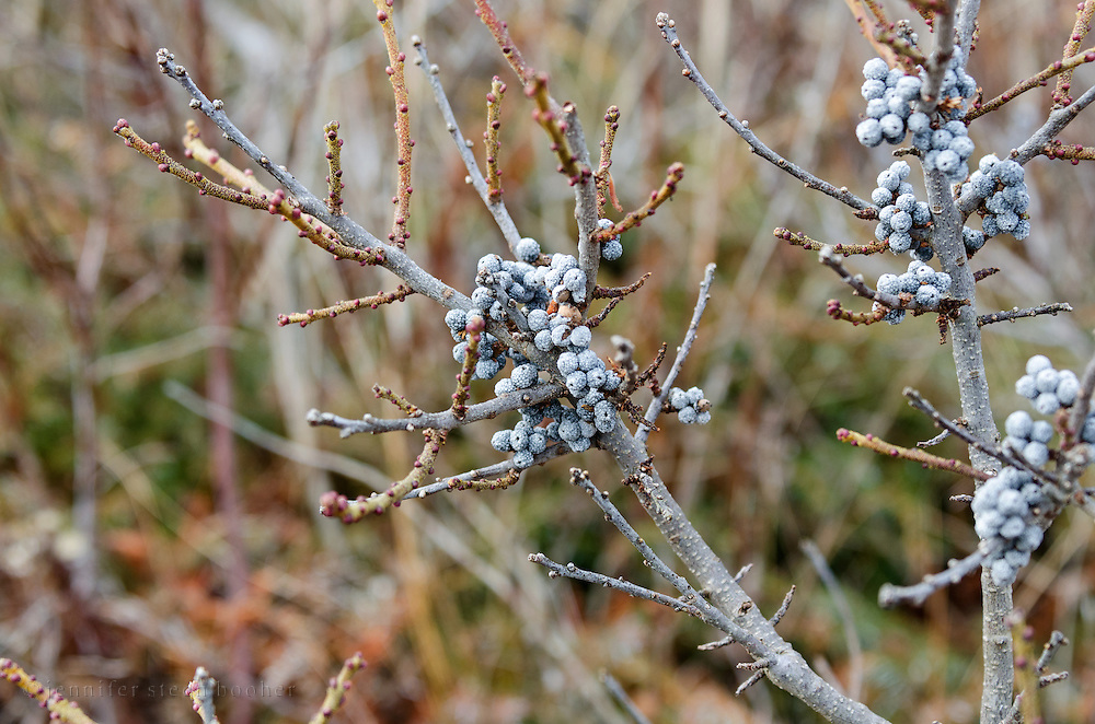 Buds and berries are visible on a bayberry bush in its leafless winter state.