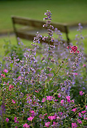 Nepeta and geranium in a border at Lower Severalls Farmhouse,  Crewkerne, Somerset, UK