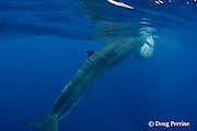 Bryde's whale, Balaenoptera brydei or Balaenoptera edeni, feeding on baitball of sardines, Sardinops sagax, with throat pleats inflated, off Baja California, Mexico ( Eastern Pacific Ocean ); #5 in sequence of 6