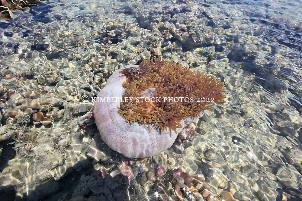A beautiful anemone lies in the shallows of a reef on the northern end of Augustus Island in Camden Sound.