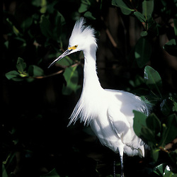 Sanibel Island, FL.A snowy egret, Egretta thula, at Ding Darling National Wildlife Refuge.