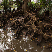 Exposed buttress roots of a tree in brackish flooded area next to the Iwahig River, with my kayak and Filipina partner in the background.