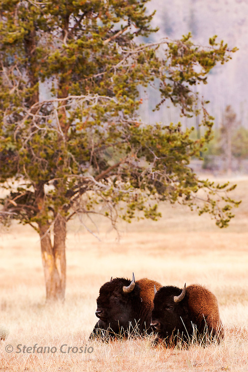 USA, Yellowstone National Park (WY)<br /> Bison (Bison bison) in Hayden Valley