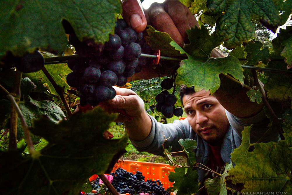 Manuel Antonio Villafuerte harvests grapes at Boordy Vineyards in Hyde, Md., on Oct. 20, 2014. The winery and vineyard implements sustainable practices such as building a wetland on a nearby stream and composting stems and the grape pumice leftover after crushing. (Photo by Will Parson/Chesapeake Bay Program)