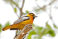 Northern Utah May springtime and the birds with color start showing themselves after a long colorless winter this one is a Male Bullock's Oriole.