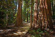 A trail through the giant redwoods in Big Basin Reddwoods State Park, California