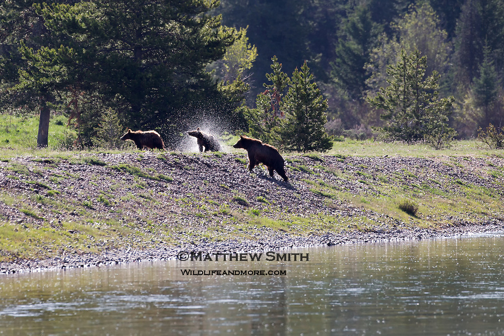 Grizzly Bears shaking it off after a swim in the park