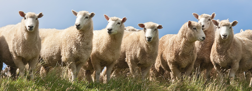 Sheep, Southland, New Zealand (12x33-inch print)
