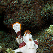 Clown Frogfish Antennarius Maculatus at Lembeh Straits, Indonesia.