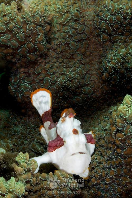 Clown Frogfish Antennarius Maculatus at Lembeh Straits, Indonesia.