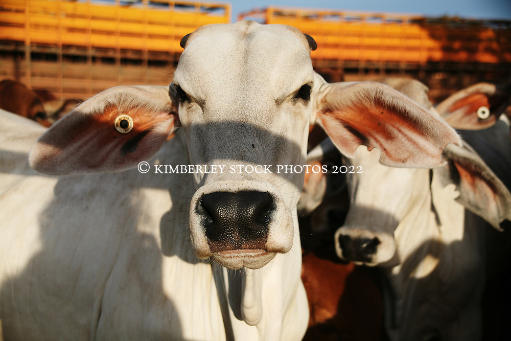A calf awaits live export at the Broome sale yards
