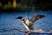Common Loon penguin dancing in protest - Quebec, Canada