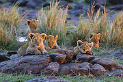 Lion<br /> Panthera leo<br /> Five cubs at sunset<br /> Masai Mara Reserve, Kenya