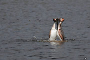 A pair of Great Crested Grebes demonstrate their courtship dance, as they present weed to each other. Image sharpened for personal printing up to A4.