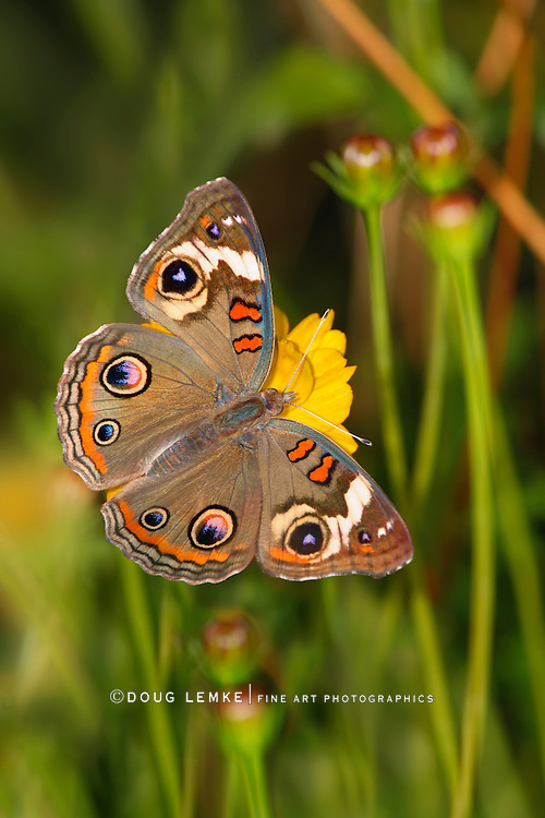 A Small Colorful Butterfly, Common Buckeye, Top Down View, Junonia coenia Hubner