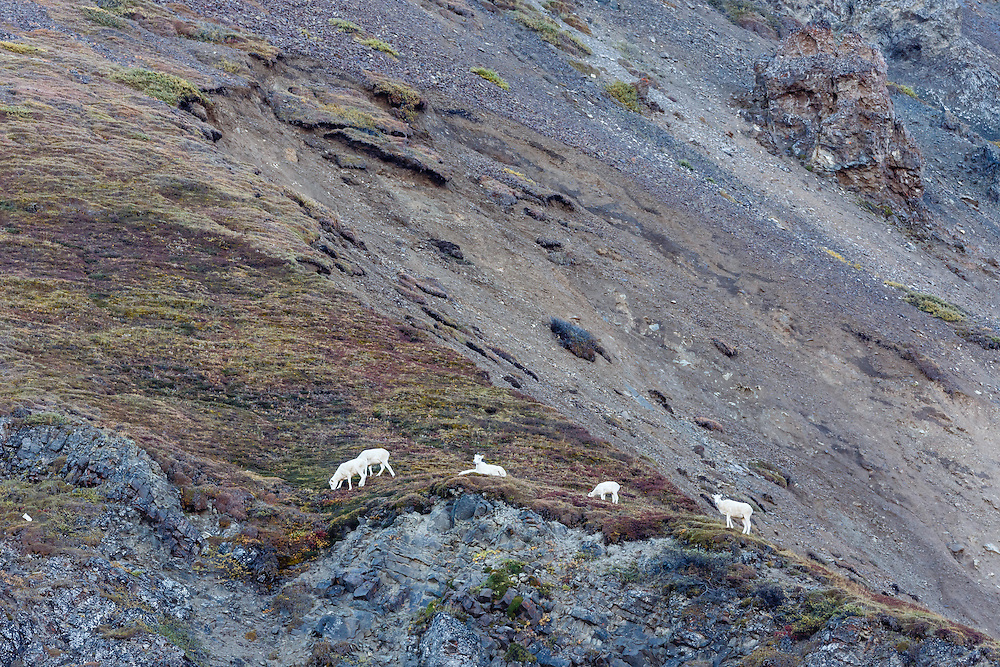 Dall Sheep (Ovis dalli) foraging on Cathedral Mountain in Denali National Park in Interior Alaska. Autumn. Morning.
