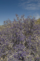 Smoke Tree (Psorothamnus spinosus) Anza-Borrego Desert State Park California